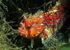 Молодая Японская мохнатоголовая собачка